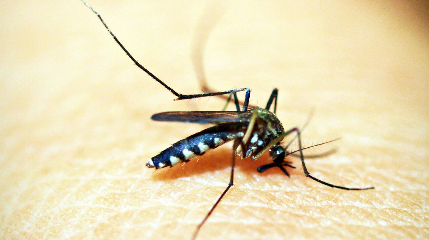 Feature | Black mosquito on person's skin | Protect Yourself Against Mosquitoes