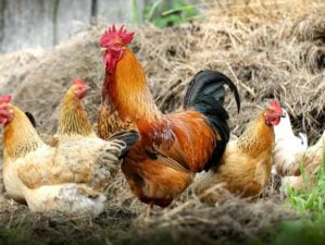 Featured | Chicken on a farm | Hen Pecked: An In-Depth Interview On Raising Chickens