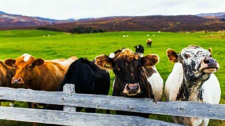 healthy cattle featured image