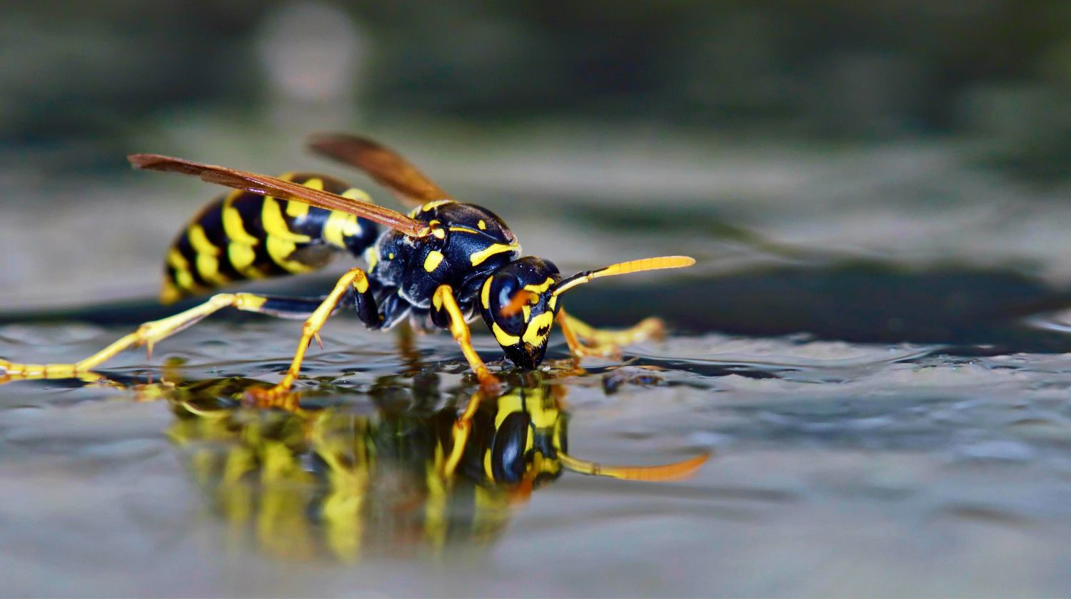 Polistes sp. wasp on water | Ways To Deter Wasps Naturally | Featured