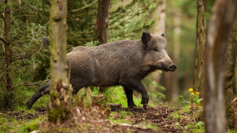 boar hunting feature ss