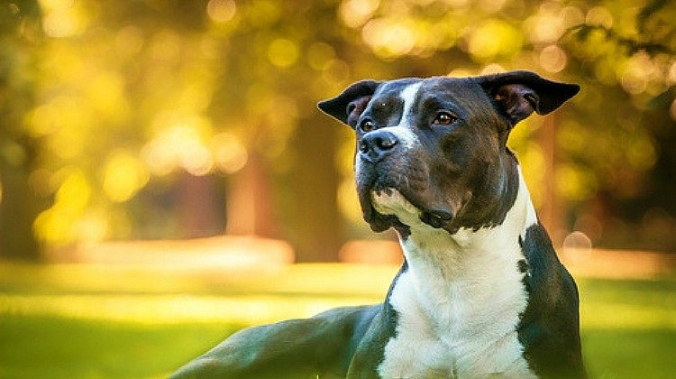 Feature | Pit Bull in the Park | Pit Bull Facts | 10 Reasons Every Prepper Should Own A Pit Bull | facts about pit bulls