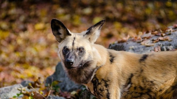 hunting dogs african hunting dogs pb
