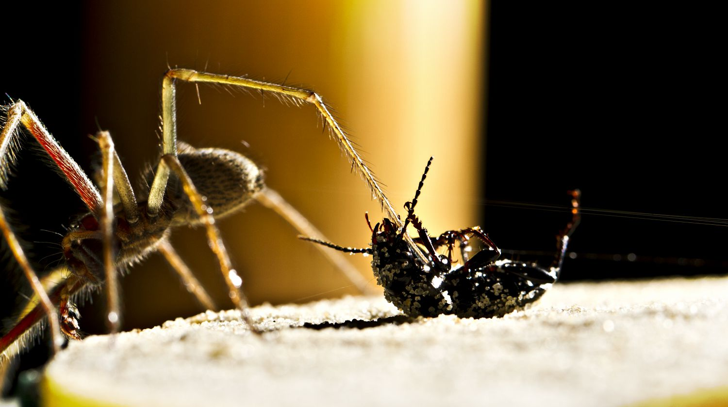 Feature | Spider-long-legs-walks-over-black | The Most Common (And Deadly) Spiders In The U.S.