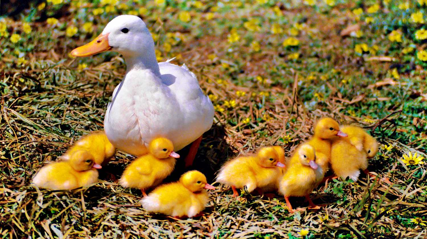 Feature | Duck with little ducklings | Chicken And Duck Keeping | Top Natural Remedies For Your Sick Flock