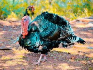 Feature | Two Black Turkeys | Best Turkey Guns On The Market Right Now