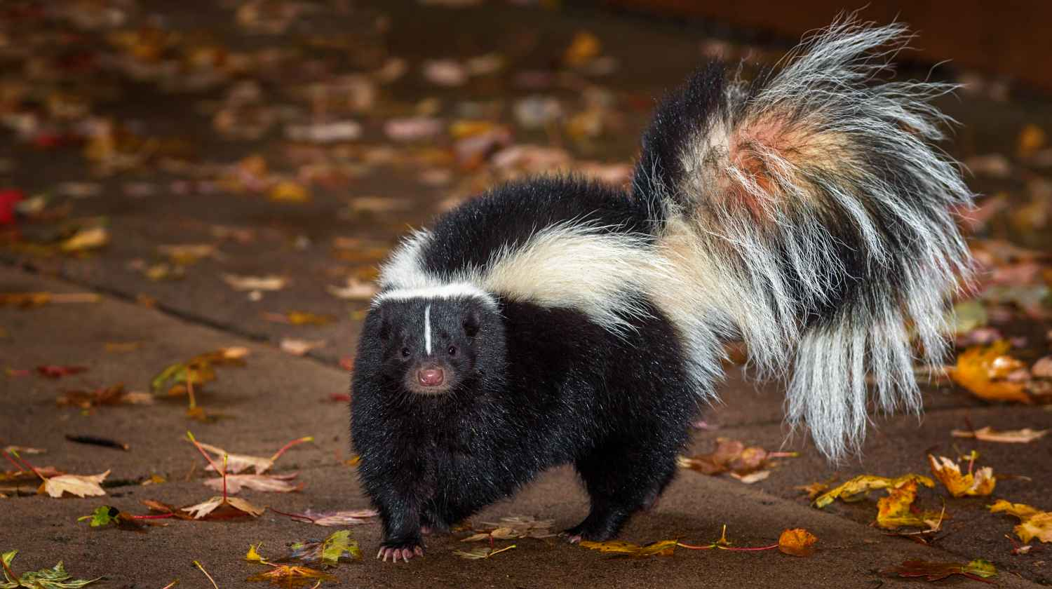 Feature   Skunks   How To Deter Skunks With These 7 Reliable Steps