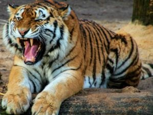 A tiger in nature | How To Survive Animal Attacks | Featured