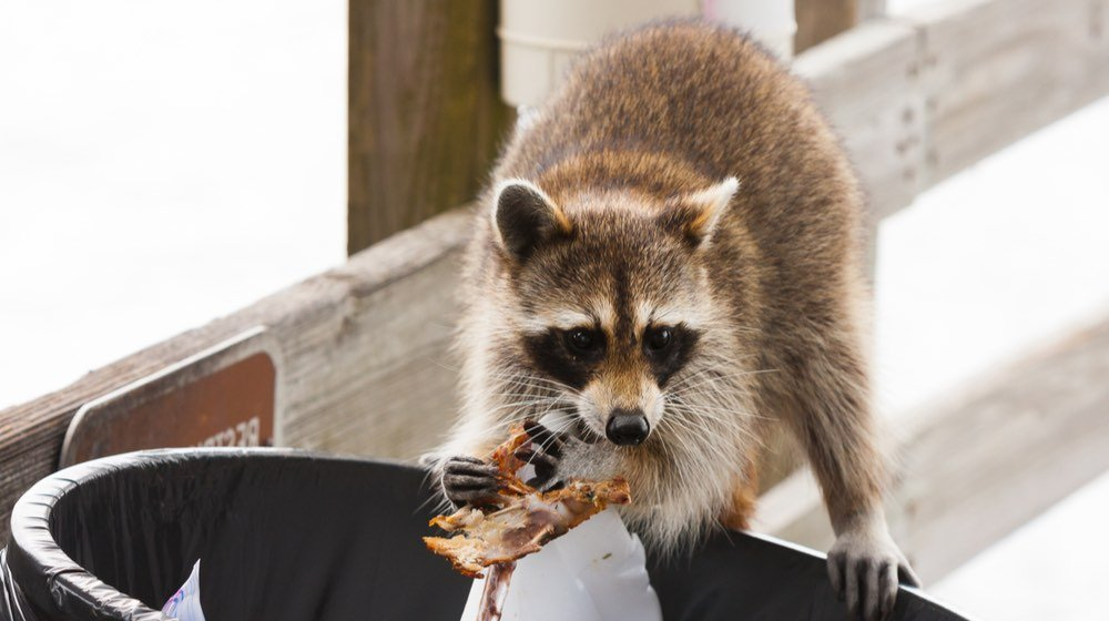 Raccoon looking for food in trash can   raccoon repellent   featured ss