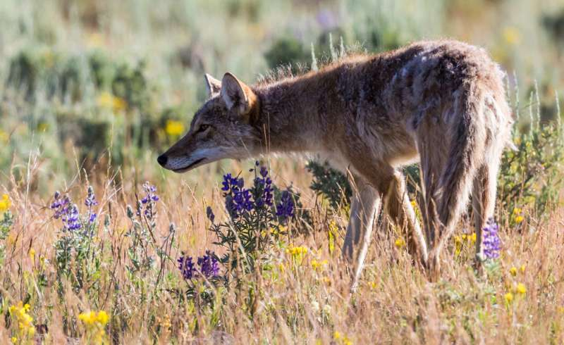 wild-coyote-scavenging-food-yellowstone-national | coyote population utah