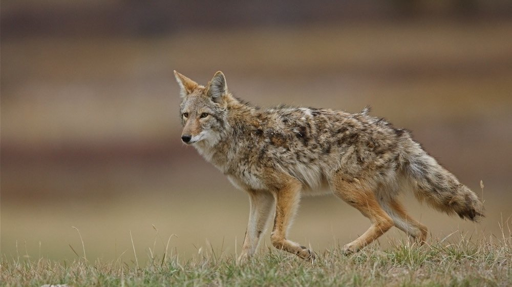Coyote, canis latrans, with burrs tangled in fur | Coyote Hunting 101 | Everything You Need To Know | featured