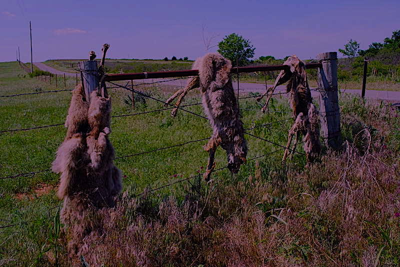 Dead Coyote Fence | coyote hunting at night in wisconsin