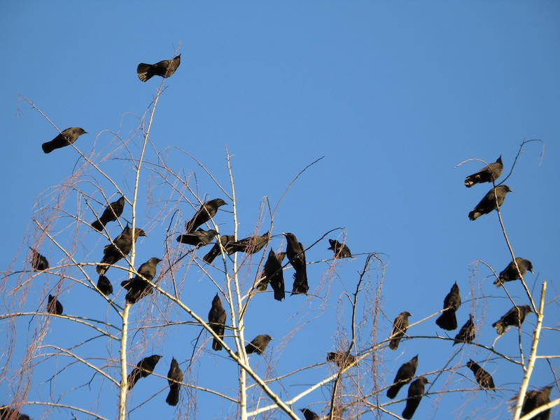 crows in a tree | shooting crows