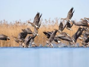 A flock of geese takes off from a pond | 10 Great Goose Hunting Tips | Featured