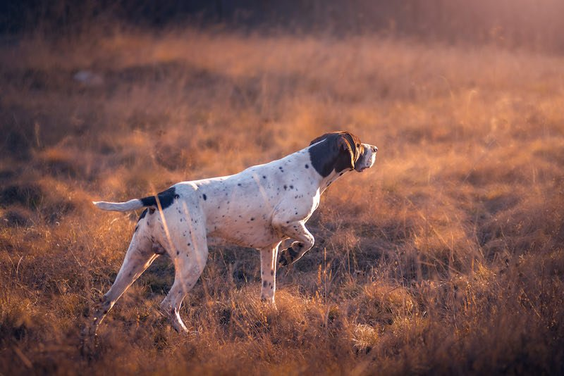 German Shorthaired Pointer hunting | rabbit hunting near me