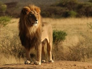 An African lion standing on a mound, Namibia Africa-african lion-ss-featured